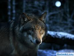 вълк3